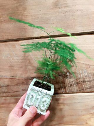 お気に入り観葉植物①